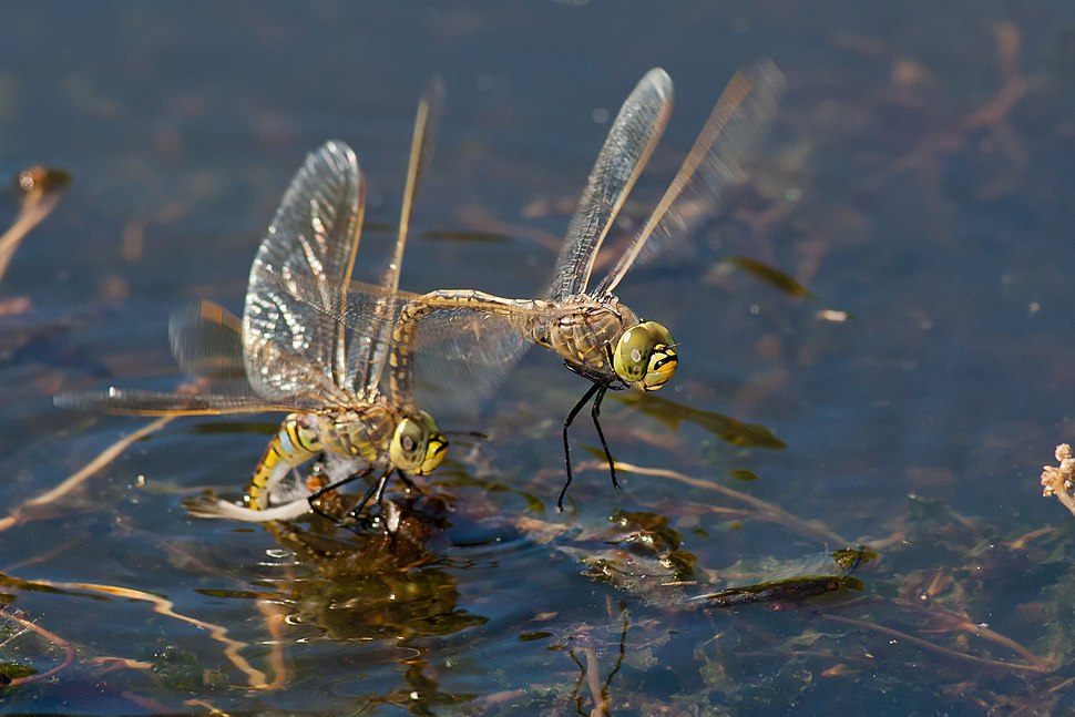 Australian Emperor mating and laying