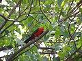 Australian King Parrot -Pallamallawa-4.Jpg