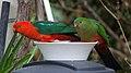 Australian King Parrots, adult pair, feeding, farm house porch, Sodwalls NSW.jpg