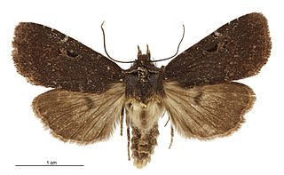 <i>Austramathes</i> genus of insects