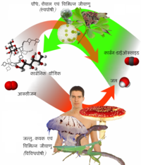 Auto-and heterotrophs hindi.PNG