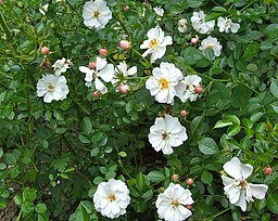 Avon (Ground Cover) rose