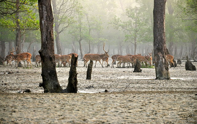 Axis deer in the Sunderbans
