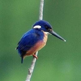 Azurekingfisher