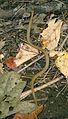 Baby garter snake (2949649862).jpg