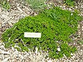 Baccharis patagonica - University of California Botanical Garden - DSC08948.JPG