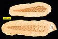 Bactroptyxis trachaea 041811.jpg