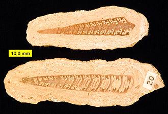 Nerineidae - Bactroptyxis trachaea, Aubry-en-exmes, Normandy, France; Middle Jurassic (Bathonian).