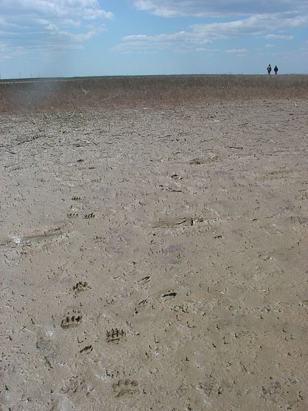 File:Badger's footsteps.JPG