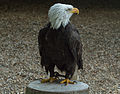 Bald eagle at the Hawk Conservancy Trust.jpg
