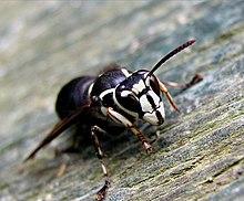Bald Faced Hornet Wikipedia