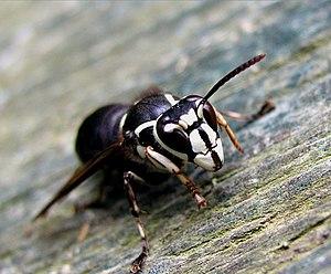 Bald-faced hornet - Image: Baldie