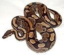 Ball python lucy.JPG