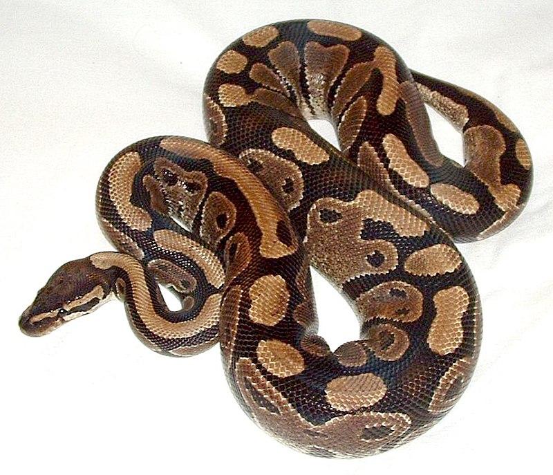 A píton-real (Python regius)