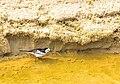 Bangla Birds.jpg