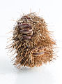 Banksia Spike.jpg
