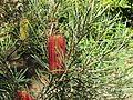 Banksia occidentalis (8044479906).jpg