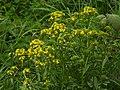 Barbarea vulgaris RF.jpg