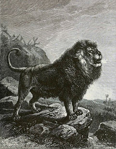 BarbaryLionB1898bw.jpg