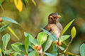Bare-eyed Thrush - Paraulata Ojo de Candil (Turdus nudigenis) (12374947965).jpg