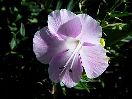 Barleria greenii flower.jpg