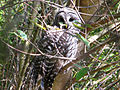 Barred owl restoration.jpg