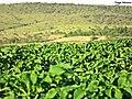 Batata irrigada no planalto central. Luziânia GO - panoramio.jpg