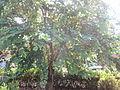 Bauhinia acuminata - ചുവന്ന മന്ദാരം 04.JPG