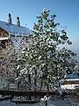 Baum der im Winter Blätter trägt.JPG