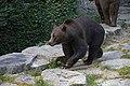 Bear in Domaine des grottes de Han.jpg