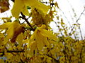 Beautiful-yellow-bells-forsythia - West Virginia - ForestWander.jpg