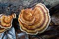 Beautiful Borneo fungus (27898387651).jpg