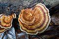 Beautiful Borneo fungus (27898387651).jpg