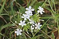 Beautiful tiny white wild flower.jpg