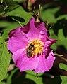 Bee Haukipudas Oulu 20190624 01.jpg
