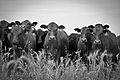 Beef Portrait (5210343960).jpg