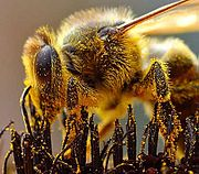 Grains of pollen sticking to this bee will be transferred to the next flower it visits