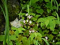 Begonia crenata (5969963760).jpg