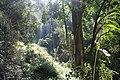 Beilshmiedia miersii - Lauraceae (30805623605).jpg