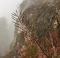 Bergtocht van Vens naar de Pointe Oilletta in Valle d'Aosta (Italië). Zaaddozen van alpenflora langs bergpad in dichte mist boven Lac du Joux (1930m) 08.jpg