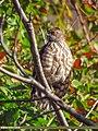 Besra (Accipiter virgatus) (39212229445).jpg