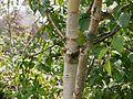 Betula utilis (7814446654).jpg