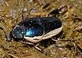Bicolor Dung Beetle (Scarabaeidae)(Id?) (13696230363).jpg