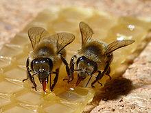 Apparato boccale lambente succhiante dell'ape: le mandibole perdono la funzione masticatoria e l'alimentazione è affidata al complesso maxillo-labiale.