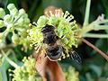 Biene Efeu Blüte 0509173.jpg