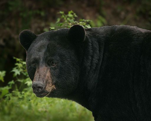 Big black bear detailed ursus americanus
