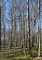 Birch forest Gullmarsskogen 8.jpg