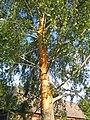 Birch tree destroyed by lightning - trunk.jpg