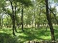 Birch woods, Tippetcraig - geograph.org.uk - 1461505.jpg