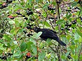 Bird Eating Berries @ Eden Project (9757323794).jpg